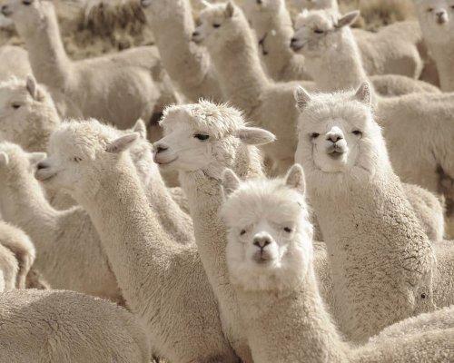 Baby llamas in Peru