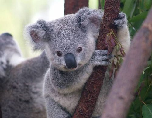 Koala conservation centre near Melbourne